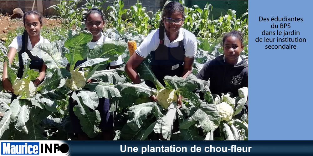 Une plantation de chou-fleur