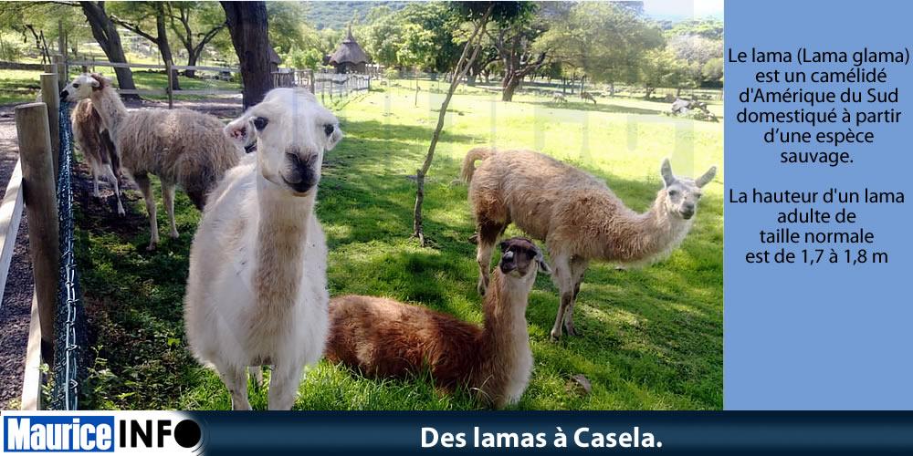 Des lamas à Casela